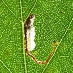 Eriocrania salopiella - Geelkoppurpermot