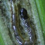Orthotaelia sparganella - Rietstreepmot