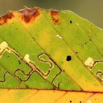 Stigmella tityrella - Beukenmineermot
