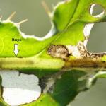 Scrobipalpa acuminatella - Distelzandvleugeltje