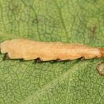 Coleophora gryphipennella - Rozenkokermot