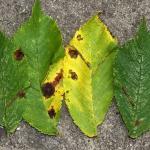 Phyllonorycter tristrigella - Geelkopiepenvouwmot