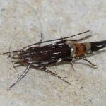 Cosmopterix pulchrimella - Glaskruidprachtmot