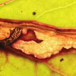 Scrobipalpula tussilaginis - Hoefbladpalpmot