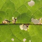 Scrobipalpa costella - Vlekzandvleugeltje