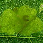Tischeria ekebladella - Gewone eikenvlekmot
