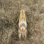 Bucculatrix noltei - Bijvoetooglapmot