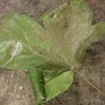 Caloptilia hemidactylella - Bonte esdoornsteltmot