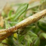 Coleophora ochrea - Zonneroosjeskokermot