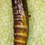 Phyllonorycter quercifoliella - Gewone eikenvouwmot