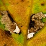 Ectoedemia subbimaculella - Gespleten eikenblaasmijnmot