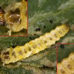 Phyllonorycter leucographella - Vuurdoornvouwmot