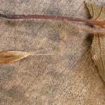 Coleophora alnifoliae - Elzenkokermot