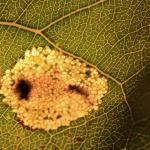 Phyllonorycter populifoliella - Grijze populierenvouwmot