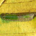 Phyllonorycter tenerella - Haagbeukvouwmot