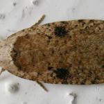 Agonopterix propinquella - Zwartvlekkaartmot