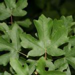 Acer campestre (Veldesdoorn of Spaanse aak)