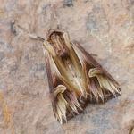 Actinotia polyodon - Arlon ~ Domaine Privé (Luxemburg) 31-07-2021 ©Steve Wullaert
