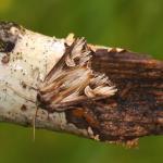 Actinotia polyodon - Beauraing ~ Grand Quarti (Namen) 23-05-2021 ©Steve Wullaert