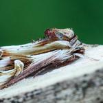 Actinotia polyodon - Chantemelle ~ Marais de Chantemelle (Luxemburg) 29-05-2021 ©Damien Gailly