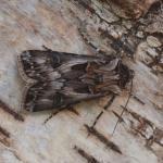 Agrotis vestigialis - Kalmthout ~ Kalmthoutse Heide (Antwerpen) 10-07-2021 ©Steve Wullaert