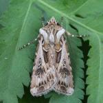 Agrotis vestigialis - Nieuwpoort ~ De IJzermonding (West-Vlaanderen) - 16-08-2020 ©Johan Verstraeten