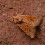 Amphipoea fucosa - Arlon ~ Domaine Privé (Luxemburg) 31-07-2021 ©Steve Wullaert