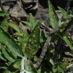 Apterona helicoidella op Buddleia - Andenne ~ Réserve naturelle de Sclaigneaux (Luik) 13-06-2021 ©Steve Wullaert