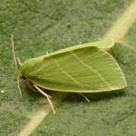 Bena bicolorana - De Panne ~ Krakeelduinen (West-Vlaanderen) 03-07-2021 ©Steve Wullaert