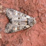 Brachylomia viminalis - Krewinkel ~ Schartenknopf (Luik) 20-07-2021 ©Steve Wullaert