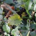 Bucculatrix nigricomella - Margrietooglapmot