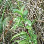 Coleophora saponariella - Zeepkruidkokermotje