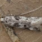 Chionodes electella - Gevlekte witkoppalpmot