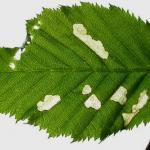 Coleophora serratella - Bruingrijze kokermot