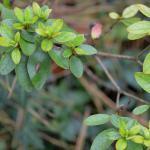 Caloptilia azaleella - Azaleasteltmot