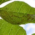 Caloptilia cuculipennella - Grauwe steltmot