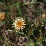 Carlina vulgaris (Driedistel)
