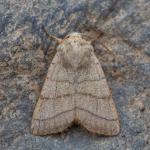 Charanyca trigrammica - De Panne ~ Krakeelduinen (West-Vlaanderen) 20-06-2021 ©Johan Verstraeten
