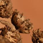 Coleophora bornicensis - Bruine wormkokermot
