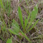 Coleophora conspicuella - Knoopkruidkokermot