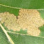 Coleophora currucipennella - Okervlerkkokermot