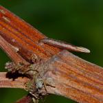 Coleophora hydrolapathella - Moeraskokermot