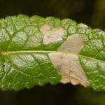 Coleophora wockeella - betoniekokermot