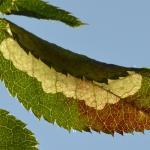 Coptotriche angusticolella - Furfooz ~ Parc naturelle de Furfooz (Namen) 09-10-2021 ©Steve Wullaert