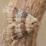 Cymatophorina diluta - Marche-en-Famenne ~ Propriété privé (Namen) - 20-09-2020 ©Steve Wullaert