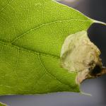 Dyseriocrania subpurpurella - Eikenpurpermot
