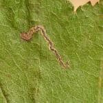 Stigmella mespilicola - elsbesmineermot
