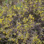Coleophora genistae - Stekelbremkokermot
