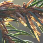 Epinotia tedella - Sparrenoogbladroller