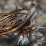 Coleophora obscenella - Guldenroedekokermot